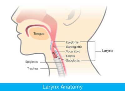 Anatomie du larynx ; ujjayi pranayama.
