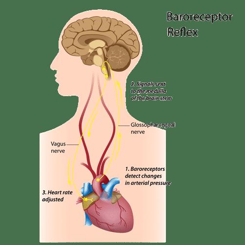 Cohérence cardiaque et pranayama : : cerveau et coeur interconnectés