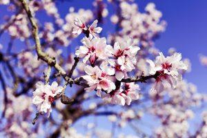 sauce amandes-amandier en fleurs