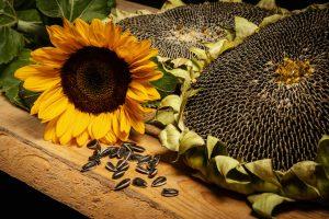 graines de tournesol-fleur de tournesol