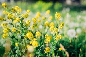 Moutarde en fleur